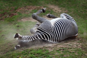 zebra-in-dust-4872x3248_16000